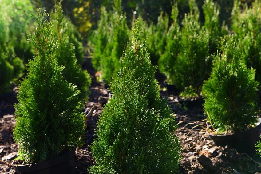 Sadzonki cedru himalajskiego bardzo ładnie się prezentują w ogrodzie. Ich uprawa nie jest trudna, sadzonki sadzi się jesienią