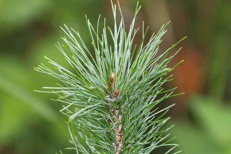 Gałązka cedru syberyjskiego, własciwie sosny syberyjskiej - warunki uprawy, sadzenie, pelegnacja oraz ceny sadzonek