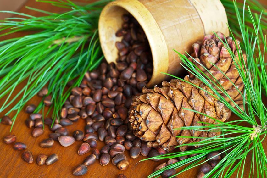 Nasiona cedru himalajskiego są bardzo szeroko dostępne. Można uprawiać roślinę z nasion lub sadzonek. W tym pierwszym przypadku uprawa jest trudniejsza