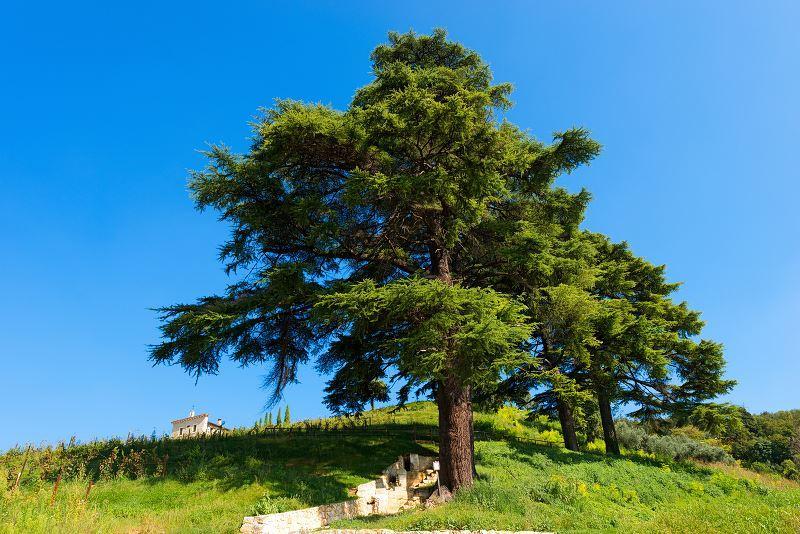 Cedr libański to jedno z najpiękniejszych drzewek. Jego sadzenie i uprawa nie są trudne, pielęgnacja także nie jest wymagająca. Cena sadzonek nie jest zbyt wysoka.