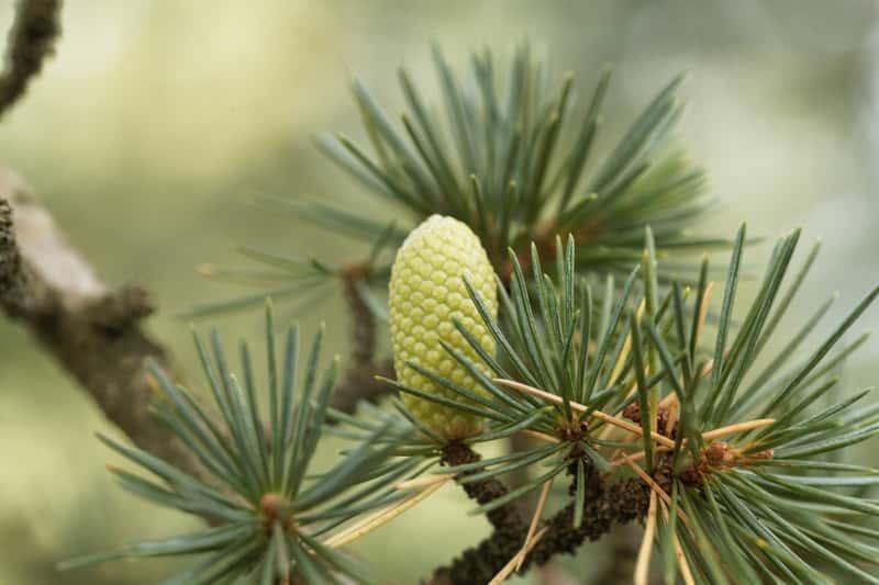 Owoc i igły cedru libańskiego - warunki uprawy, sadzenie, stanowisko, wymagania i pielęgnacja oraz ceny sadzonek