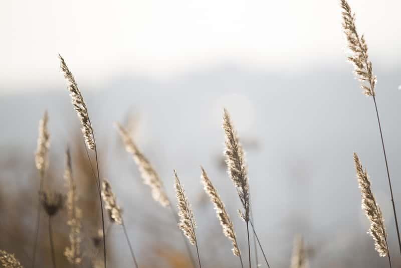 Kłosy życicy trwałej, z łac. Lolium perenne, czyli gatunki, warunki uprawy, stanowisko, wymagania, sadzenie, pielegnacja - porady