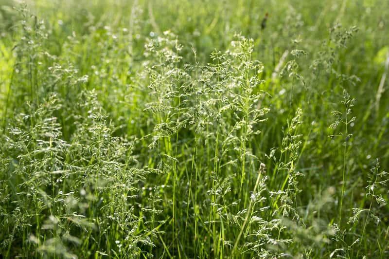 Wiechlina łąkowa, czyli ciekawa trawa ozdobna, a także sadzenie, pielęgnacja, podlewanie i uprawa oraz zastosowanie