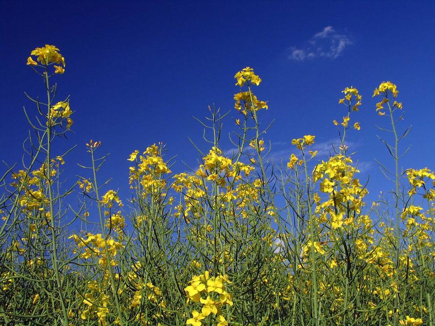 Gorczyca polna to jeden z najbardziej popularnych chwastów w ogrodzie. Zwalczanie chwastów nie jest trudne, reagują na środki ochrony roślin