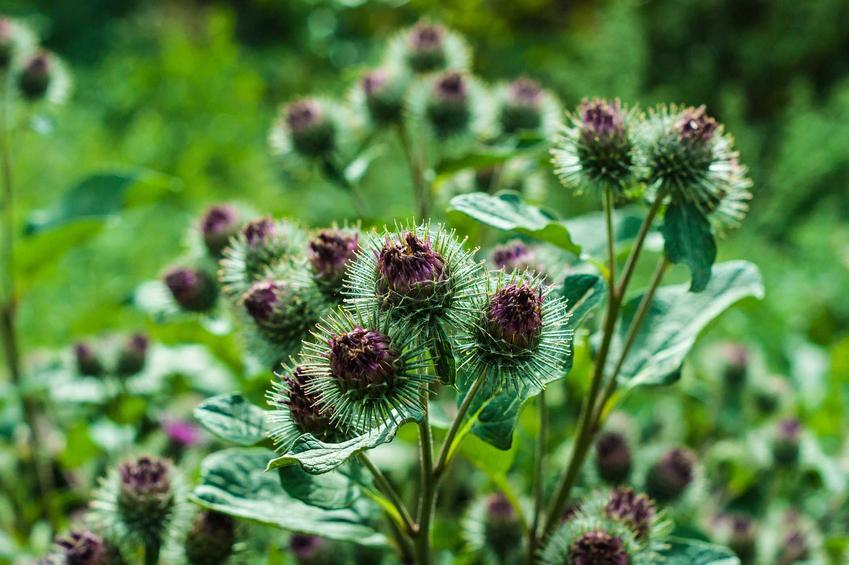 Łopian większy to roślina o ładnym wyglądzie, chociaż jest często uważana za chwast. Ma duże właściwości lecznicze.