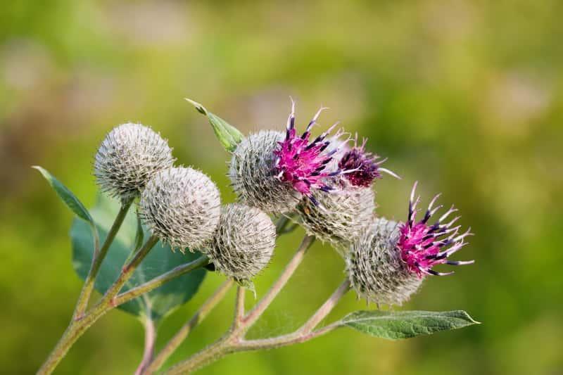 Łopian większy o różowych kwiatach, zastosowanie, sadzenie, pielęgnacja, uprawa oraz wymagania rośliny krok po kroku