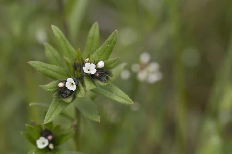 Delikatne kwiaty chwastu nawrot polny - charakterystyka, opis, występowanie, skuteczne sposoby zwalczania - porady