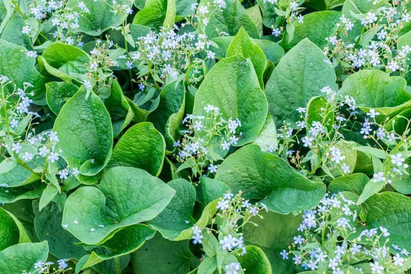 Liście i kwiaty brunnery wielkolistnej,czy też niezapomnajki kałkaskiej, odmiany, wymagania, stanowiskao, pielęgnacja