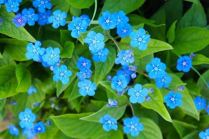 Ułudka wiosenna o niebieskich kwiatach rosnąca w ogrodzie, a także sadzenie, pielęgnacja, podlewanie oraz uprawa w ogrodzie