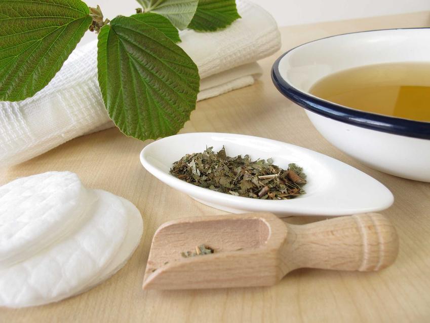 Oczar wirginijski ma szerokie zastosowanie i dużo właściwości lecznicze, można stosować jego nasiona.