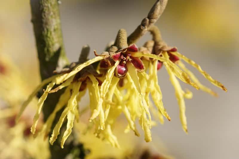 Kwiat oczaru pośredniego - ciekawostki, ważne informacje, warunki uprawy, stanowisko, wymagania, pielęgnacja oraz choroby i szkodniki - porady