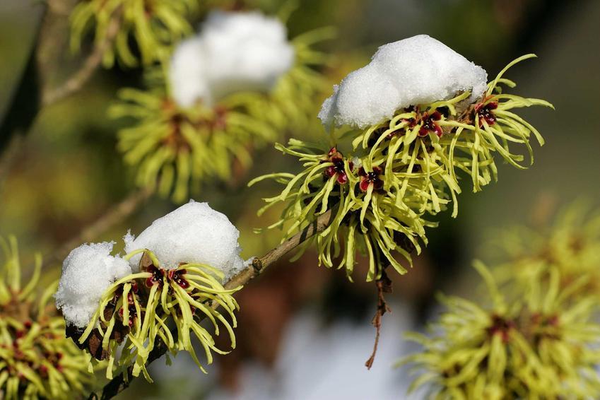 Oczar pośredni to ciekawe drzewko. Jego uprawa w ogrodzie świetnie się udaje, ponieważ pielęgnacja nie jest skomplikowana.