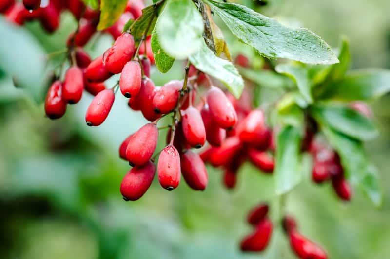 Czerwone owoce berberysu na roślinie jesienią, a także berberys zwyczajny i jego sadzenie, pielęgnacja, uprawa oraz wymagania w ogrodzie