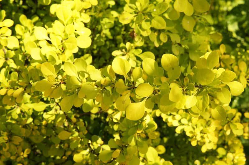 Berberys Thunberga 'Maria' o jasnozielonych listkach na krzewie, a także sadzenie, pielęgnacja, uprawa oraz sadzonki krzewu