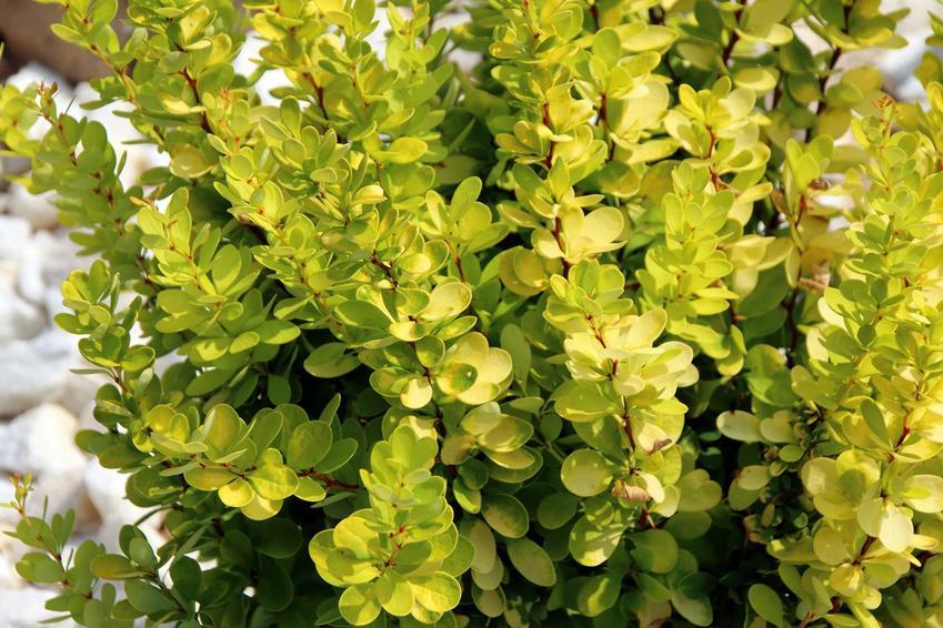 Berberys kolumnowy to jedna z najpiekniejszych roślin. Jest bardzo często wykorzystywany na żywopłot. Jego pielęgnacja nie jest tudna, a uprawa nie jest szczególnie wymagająca