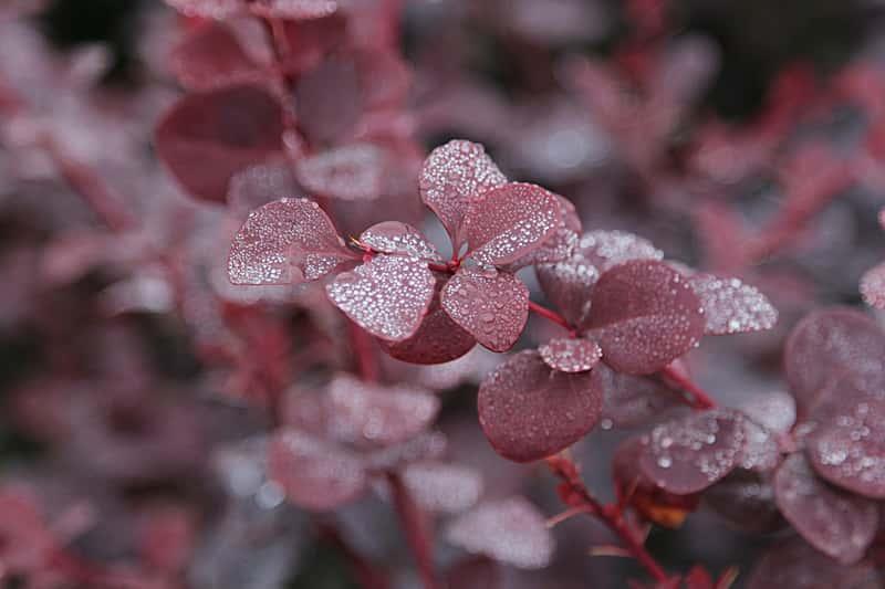 Dekoracyjne liście berberysu 'Bagatelle' thunberga - warunki uprawy, wymagania, sadzenie, stanowisko, pielęgnacja - porady