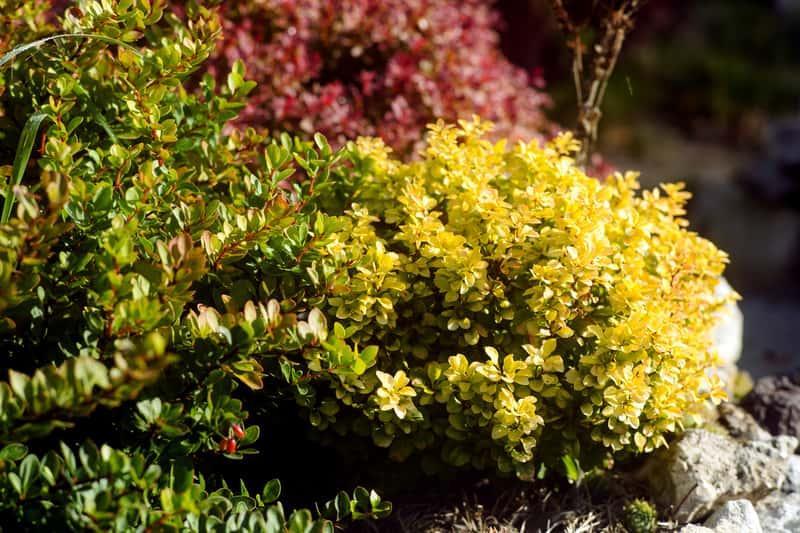 Kompozycja berberysów w ogrodzie, czyli berberys 'Erecta' thunberga - uprawa, wymagania, stanowisko, sadzenie, przycinanie - porady