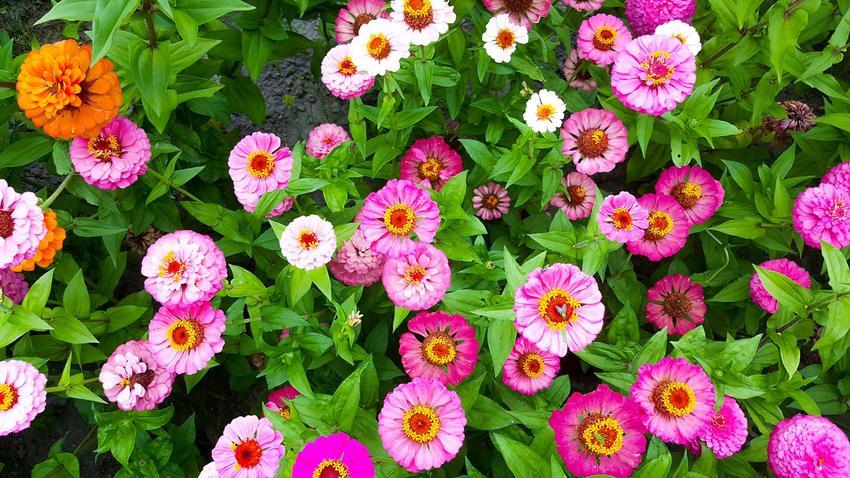 Gerbera najbardziej znana jest w bukietach, jednak gerbera w ogrodzie także świetnie się sprawdza. Jej uprawa i pielęgnacja nie są trudne, a jest bardzo dekoracyjna.