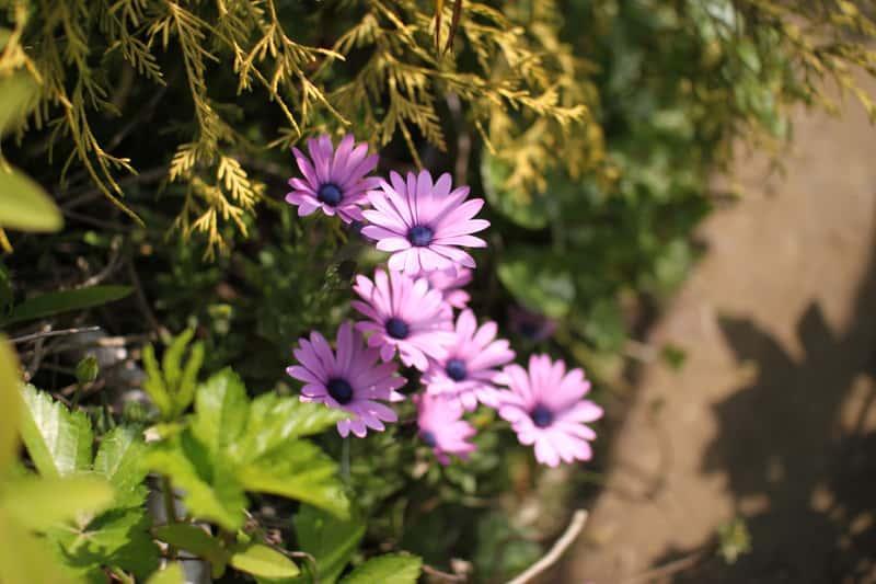 Różowe gerbery ogrodowe o pięknych, gęstych kwiatach, a także porady dotyczące uprawy, pielęgnacja, sadzenie oraz podlewanie