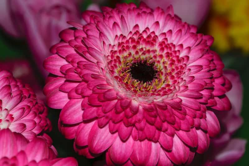Gerbera Jamesona o purpurowych kwiatach, idealna do ogrodu, a także jej uprawa, pielęgnacja, sadzenie i wymagania siedliskowe