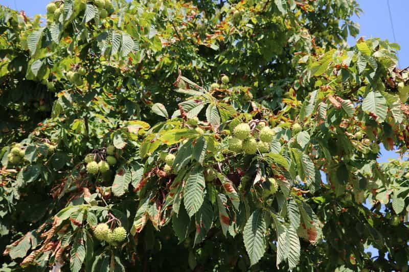 Owoce kasztanowca zwyczajnego, czyli aesculus hippocastanum - odmiany, warunki uprawy w ogrodzie, stanowisko, pielęgnacja oraz właściwości lecznicze i zastosowanie