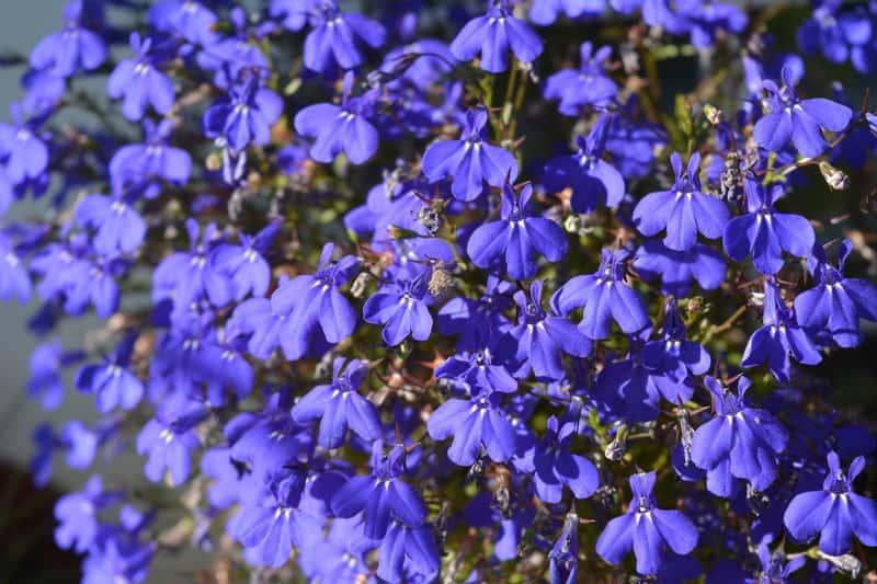 Lobelia przylądkowa o intensywnie niebieskich kwiatach, a także wysiew, uprawa, pielęgnacja, przygotowanie do sadzenia
