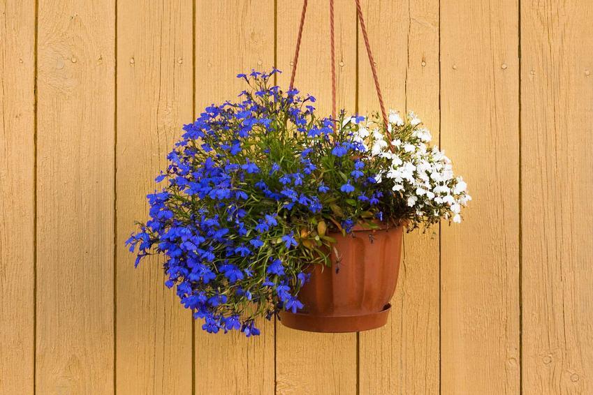 Lobelia przylądkowa o niebieskich lub białych kwiatach to ładna roślina na balkon. Jej uprawa i pielęgnacja jest łatwa, więc warto się nią zainteresować.