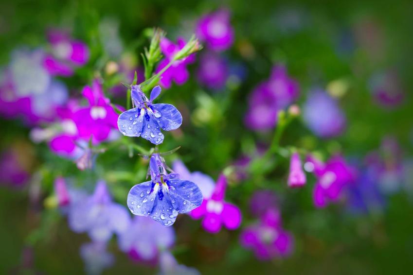 Urocze kwiatuszki lobelii zwisającej o niebieskim kolorze na tle kwiatów fioletowo-niebieskich i zielonych liści. Lobelia zwisająca kwitnie przez kilka miesięcy, ciesząc swoimi wspaniałymi kwiatami