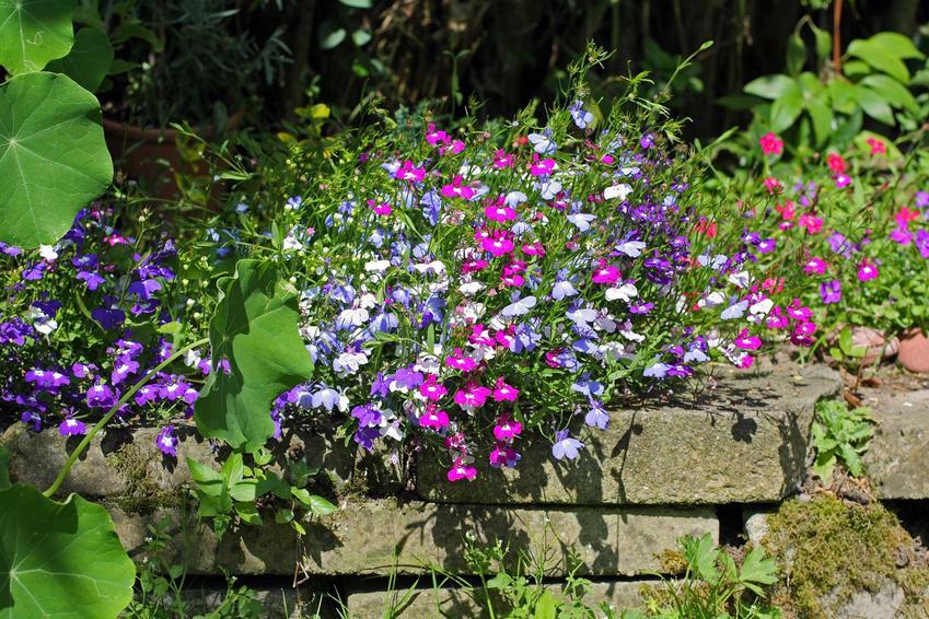 Lobelie w doniczce mogą być postawione na balkonie lub tarasie, ale mogą także być uprawiane w ogrodzie. Kolorowe lobelie w drewnianej donicy są bardzo ozdobne.