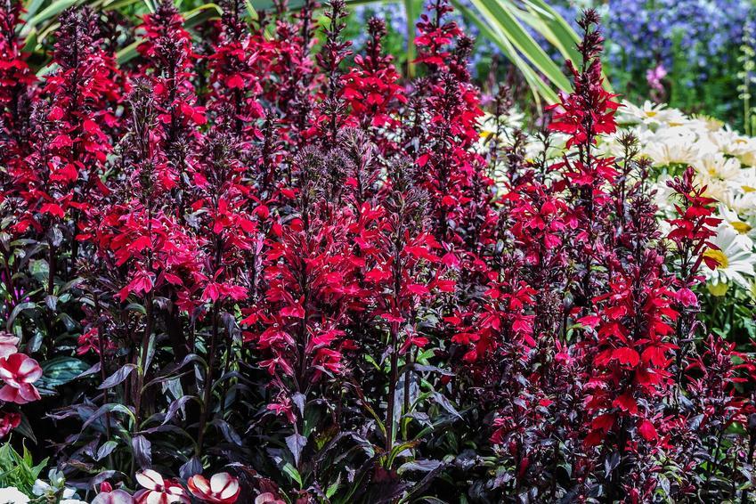 Lobelia wieloletnia o szkarłatnych kwiatach i ciemnych łodygach i liściach bardzo ładnie się prezentuje. To najlepsza roślina na rabaty i do pojemników.