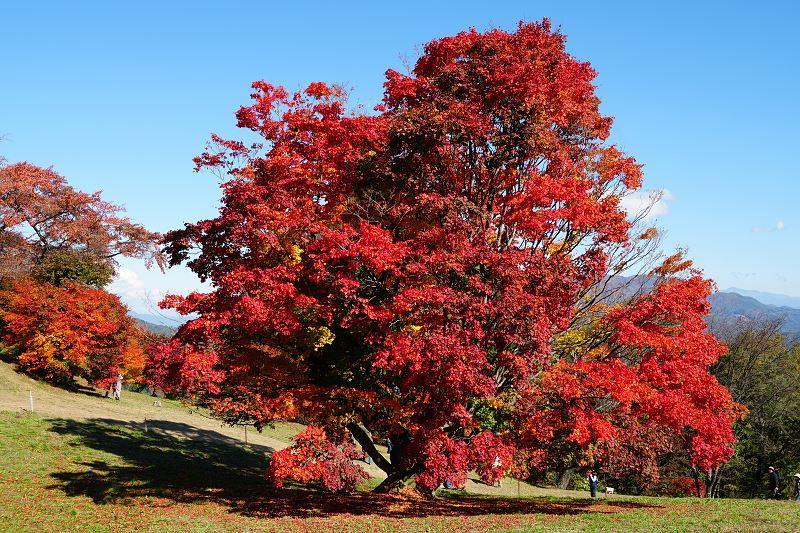 Klon czerwony Red Sunsed to jeden z najpiękniejszych klonów w ogrodzie. Nie jest wysoki, zdobi niezwykle czerwonymi liśćmi, a pielęgnacja nie jest trudna.