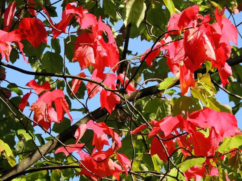 Liście klonu czerwonego, czyli z łac. Acer rubrum - odmiany, warunki uprawy, wymagania, sadzenie oraz pielęgnacja klonu w ogrodzie