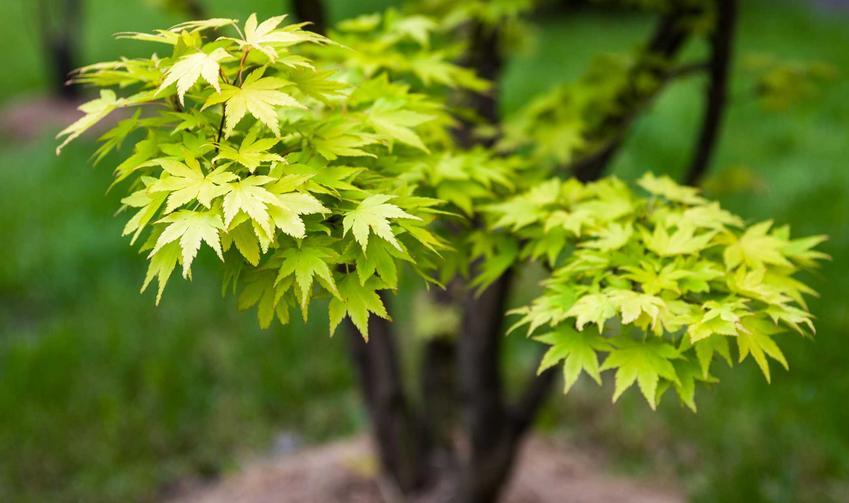 Klon jawor Acer bardzo dobrze się sprawdza w ogrodzie. Jesienne sadzenie nie jest wymagające, podobnie jak pielęgnacja.
