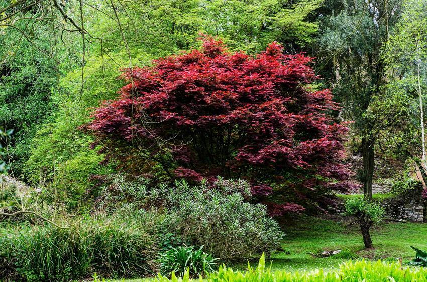 Najpiękniejsze odmiany klonu japońskiego to te, które mają duże, pięknie wybarwione na czerwowo liście. Ich uprawa nie jest wymagająca, dobrze sprawdzają się w Polsce.