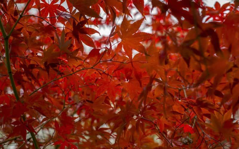 Czerwone liście klonu japońskiego przebarwione jesienią, a także odmiany, uprawa i pielęgnacja w ogrodzie, a także przycinanie i hodowla