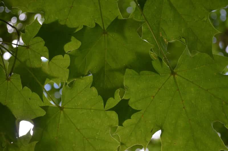 Klon zwyczajny o zielonych dłoniastych liściach, a także opis gatunku, uprawa, pielęgnacja, sadzenie oraz podlewanie rośliny