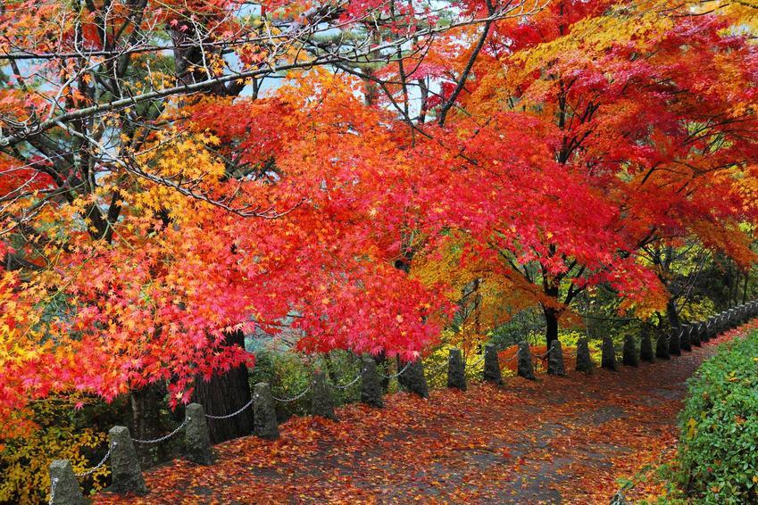 Klon zwyczajny (pospolity) to piękne drzewo, które ładnie wygląda jesienią. Ma intensywnie wybarwione liście, a uprawa gatunku nie jest trudna.