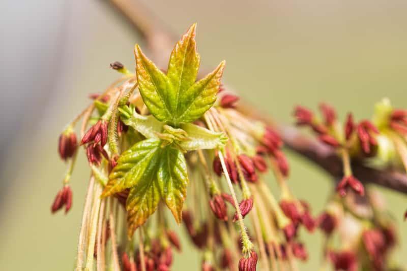 Klon jesionolistny o jasnozielonych listkach i drobnych kwiatostanach, a także uprawa, sadzenie, pielęgnacja i opis klonu krok po korku