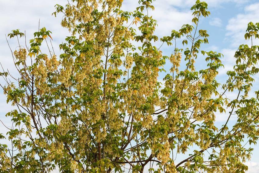 Klon jesionolistny ma bardzo wiele odmian. Niektóre są szczególnie atrakcyjne, mają jasnożółte liście. Przycinanie nie jest konieczne.