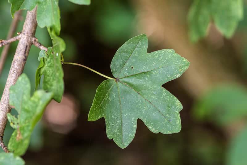 Listek klonu polnego Acer campestre, a także klon polny krok po kroku, sadzenie, stanowisko, uprawa i pielęgnacja