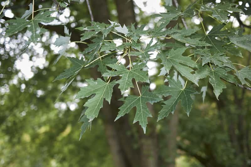 Pięciopalczaste liście klonu srebrzystego, Acer saccharinum - warunki uprawy, wymagania, stanowisko, zastosowanie, przycinanie, pielegnacja - porady