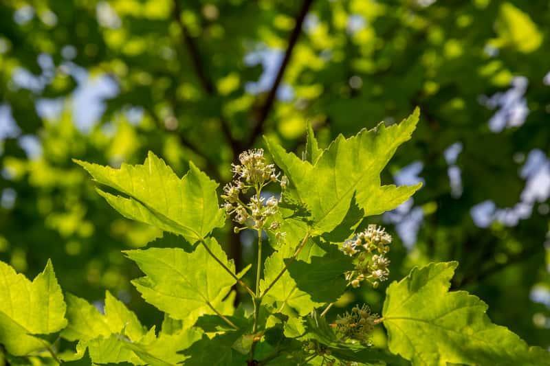 Kwiaty i liście klonu tatarskiego, Acer tataricum, czyli sadzenie, warunki uprawy, wymagania, środowisko, pielegnacja - porady