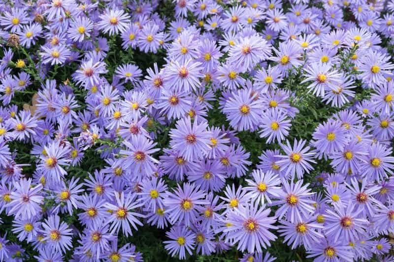 Astry o drobnych niebieskich kwiatach, rosnące w postaci niewielkiego krzewu, a także odmiany, ceny sadzonek, pielęgnacja oraz uprawa