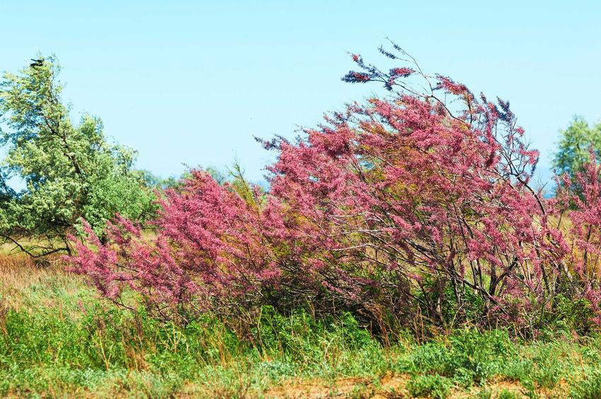 Tamaryszek francuski to jeden z najbardziej intersujących krzewów. Jego sadzenie i uprawa nie są trudne, chociaż ma dość duże wymagania siedliskowe.