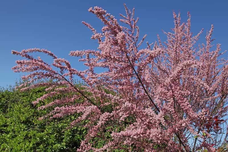 Tamaryszek drobnokwiatowy o gęstych różowych kwiatach, a także uprawa, pielęgnacja oraz cięcie krok po kroku
