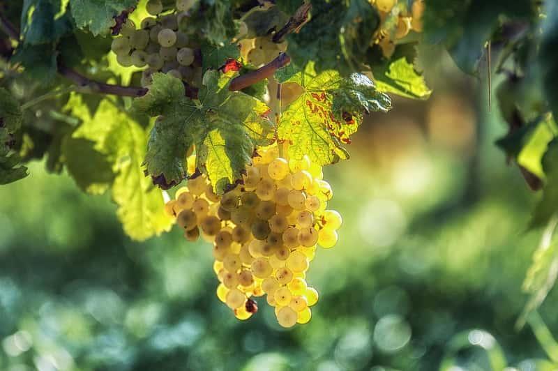 Choroby widoczne na owocach winorośli, a także informacje o ich zwalczaniu, najlepsze opryski, najczęstsze choroby i szkodniki