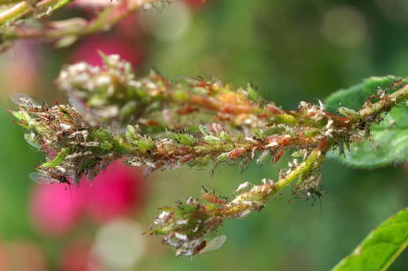 Mszyce żerujące na gałązkach krzewu, domowe sposoby na zwalczanie mszyc, rodzaje oprysków oraz preparaty na mszyce