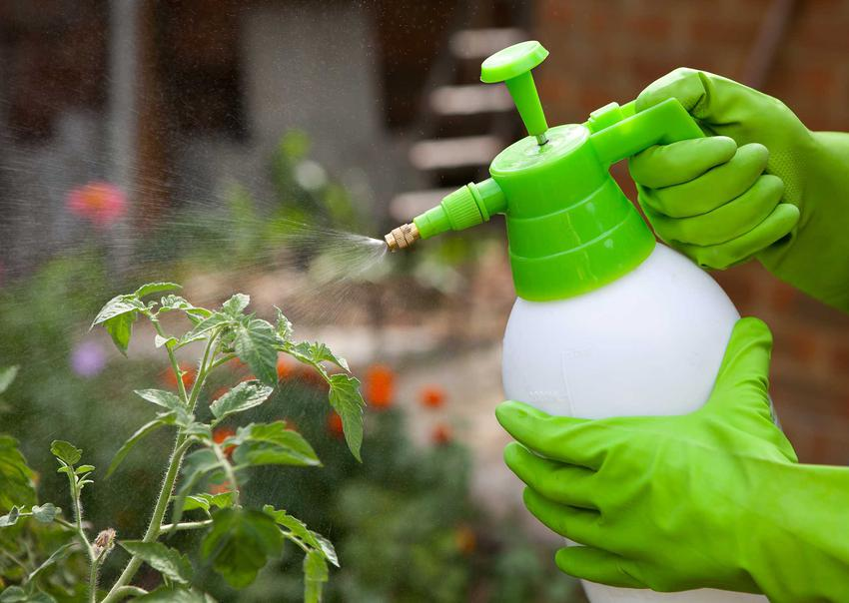 Opryski i preparaty na mszyce są bardzo skuteczne. Niektóre domowe sposoby także dobrze się sprawdzają.