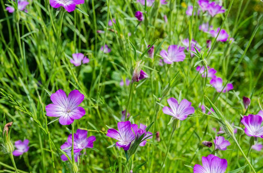 Fioletowe kwiaty kąkolu być może i ładnie wyglądają, ale są poważnym zagrożeniem dla uprawy nasiennej, dlatego zwalczanie kąkoli jest tak ważne.