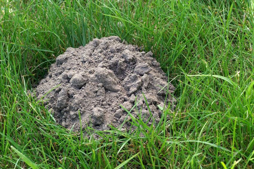Karczowniki tworzą kopce i tunele, zupełnie jak krety. Są bardzo szkodliwe i mogą zniszczyć uprawę bardzo wielu roślin.